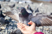Gray pigeon sitting on hand — Stock Photo