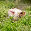 Little piglet lying in the grass — Stock Photo #35905847
