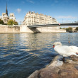 Swan on the background of the Notre dame de Paris — Stock Photo