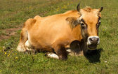 Cow is resting — Stock Photo