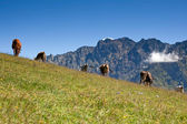 Cows graze in mountains — Stock Photo