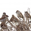 Isolated sparrows — Stock Photo
