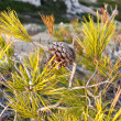 Pinecone on a pine tree — Stock Photo