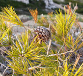 Pinecone on a pine tree — Foto Stock