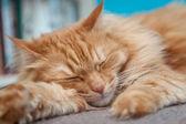 Charming fluffy ginger cat — Stock Photo