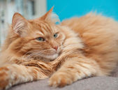 Charming fluffy ginger cat — Стоковое фото