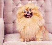 Pomeranian drôle et moelleux — Photo