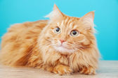 Fluffy ginger cat against blue wall — Stock Photo
