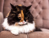 Beautiful tricolor cat — Stock Photo