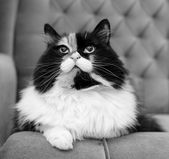 Beautiful fluffy cat, black and white — Stockfoto