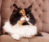 Hermoso gato tricolor — Foto de Stock