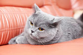 British gray cat lying on a red couch — Stock Photo