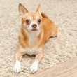 Chihuahua hua dog sits on the carpet — Stock Photo