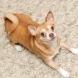 Stock Photo: Chihuahuhudog sits on carpet