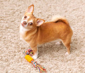 Brown chihuahua dog on the carpet with toy — Stock Photo