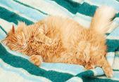 Lustige flaumig ingwer katze schlafend auf decke — Stockfoto