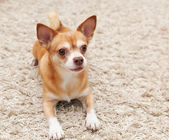 Brown chihuahua dog sitting on the carpet — Stock Photo