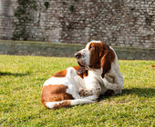 Basset hound dog lying in the park on the grass — Stock Photo