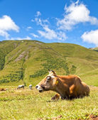 Cow on the background of green meadows and blue sky — Stock Photo