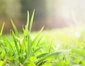 Young green grass, spring awakening — Stock Photo