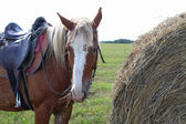 Brown spotted horse eating hay, standing next to a stack  — Stock Photo