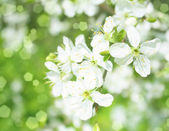 Blossoming apple branches, with blur and soft-focus, background  — Stock Photo