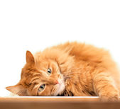 Fluffy red  cat  isolated on white background — Stockfoto