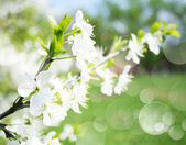 Blossoming apple branches, with blur and soft-focus — Stock Photo