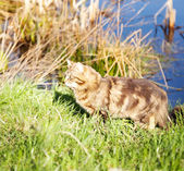 Beautiful brown cat in the woods near pond — Stock Photo