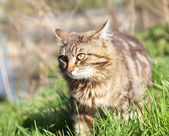 Beautiful brown cat in the woods — Stock Photo