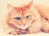Cute fluffy red  cat — Foto de Stock