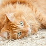 Funny fluffy ginger cat lying  — Stock Photo #46550307