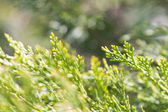 Cypress or Thuja branches — Stock Photo