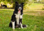 Retrato de um engraçado border collie cachorro no parque — Fotografia Stock