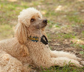 Portrait of a funny poodle lying on grass — Stock Photo