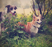 Two cute dogs in the park. We're friends forever. Welsh Corgi an — Stock Photo
