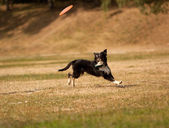 Black and white Border Collie Frisbee. Canine sports. — Stock Photo