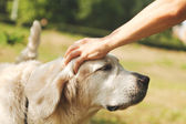 Cute golden retriever and the hand of the host — Stock Photo