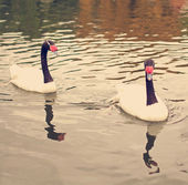 Two swans in a pond — Stock Photo
