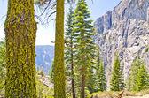 Lichen na borovic — Stock fotografie