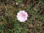 Gentle pink corolla of Field bindweed — Stock Photo