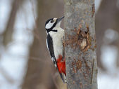 Woodpecker pecks something under the bark — Stock Photo