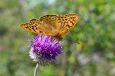 Beautiful orange wings of a fritillary butterfly — Stock Photo