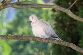 Turtle-dove ruffle up feathers after the preening — Stock Photo