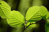 Sunny hazel leaves — Stock Photo