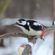 Foto de Stock  : Spotted Woodpecker wary looks at man