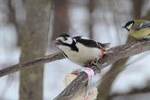 A rare shot - woodpecker eats the bait of white bread — Stock Photo