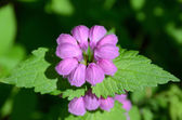 Round inflorescence of bright pink finely downy flowers, top-side view — ストック写真