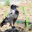 A rare shot - hooded crow intently looking for a tasty stalk — Stock Photo