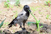 A rare shot - hooded crow nibbling succulent flower stem — Stock Photo